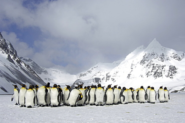 King penguins (aptenodytes patagonicus) right whale bay, south georgia, group huddled together in snowy landscape
