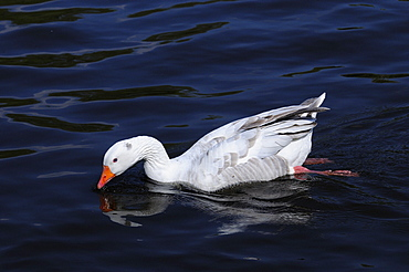 White farmyard goose (anser species) swimming wild on the river thames, oxfordshire, uk
