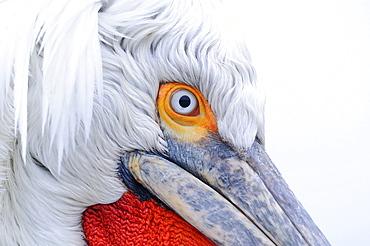 Dalmatian pelican (pelecanus crispus) close-up of face, adult in breeding plumage, lake kerkini, greece