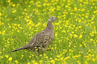 Common pheasant (phasianus colchicus) oxfordshire, uk, female in buttercup field.