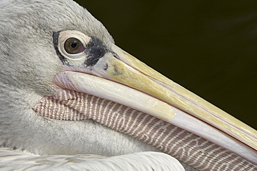 Pink-backed pelican (pelecanus rufescens) native of africa and middle east (captive bristol zoo)