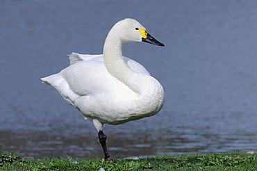 Bewick's swan (cygnus columbianus) standing on one leg, unipedal resting, slimbridge, uk