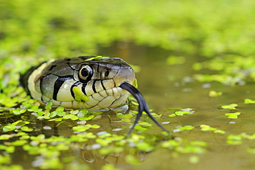 Grass snake (natrix natrix) head raised above water, oxfordshire, uk