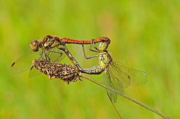 Common darter dragonfly (sympetrum striolatum) pair mating on grass stem, oxfordshire, uk