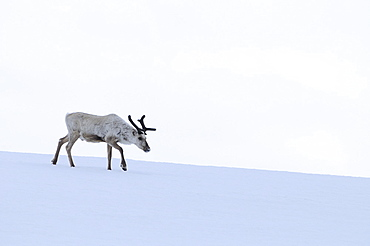 Reindeer (rangifer tarandus) solitary animal walking over snow, finland
