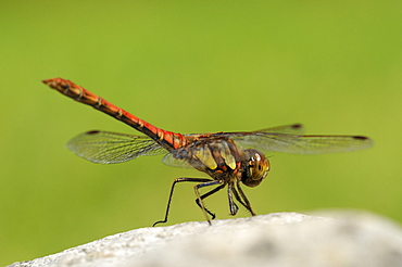 Common darter dragonfly (sympetrum striolatum) male at rest on rock, oxfordshire, uk