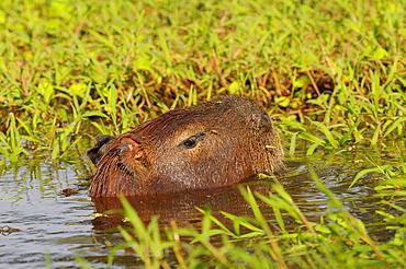 Capybara (hydrocoerus hydrocaerus) swimming, head above water, pantanal, brazil.