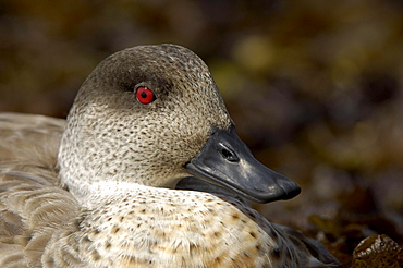Patagonian crested duck (anas specularioides), new island, falkland islands, close-up of haed and beak.