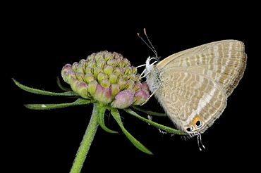 Long-tailed blue butterfly (lampides boeticus) adult resting on flowerhead, captive bred, europe