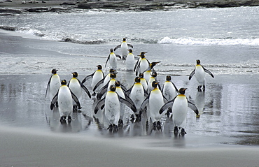King penguins (aptenodytes patagonicus) st andrews bay, south georgia, group on beach