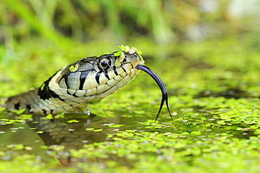 Grass snake (natrix natrix) head raised above water, tongue out, oxfordshire, uk