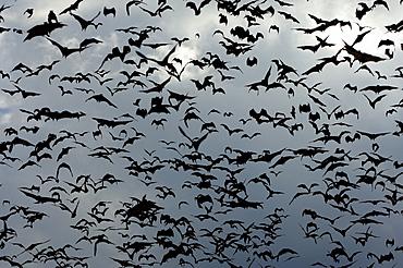 Straw-coloured fruit bat (eidolon helvum) kasanka  park, zambia, flock in flight.
