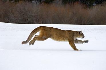 Puma or mountain lion (felis concolor) running on snow, captive.