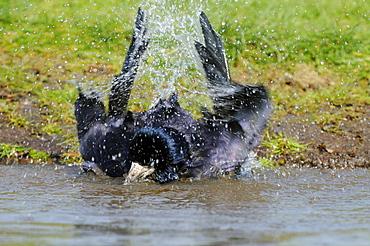 Rook (corvus frugilegus) bathing in water, oxfordshire, uk