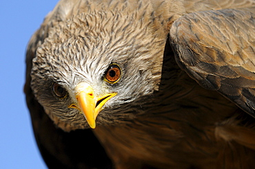 Yellow-billed kite (milvus aegyptius) close-up, captive, south africa