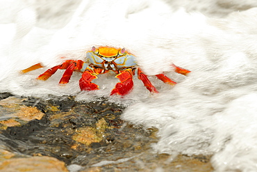 Sally lightfoot crab (grapsus grapsus) with sea water flowing over it, galapagos islands, ecuador