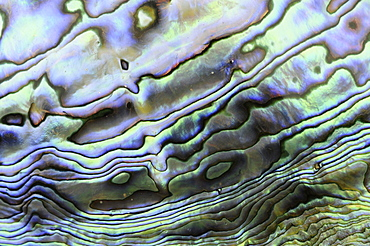Paua shell (haliotis iris) species of abalone native to new zealand