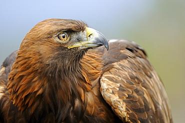 Golden eagle (aquila chrysaetos) close-up, scotland, captive