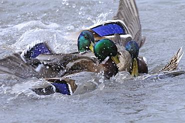 Mallard (anas platyrhynchos) several malse trying to mate with one female, slimbridge, uk