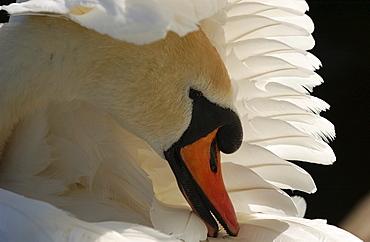 Mute swan. Cygnus olor. Preening. Oxfordshire, uk