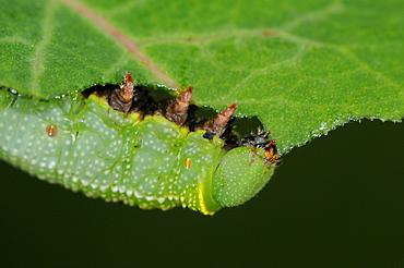 Broad,bordered bee hawkmoth (hemaris fuciformis) close,up of larva feeding on honeysuckle leaf, oxfordshire, uk