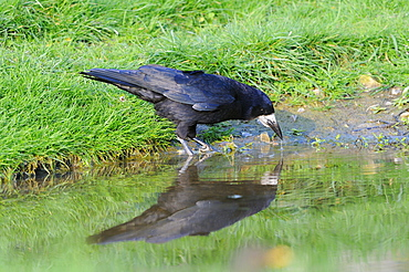 Rook (corvus frugilegus) drinking, oxfordshire, uk