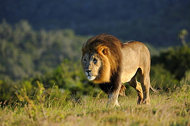 Adult male lion (panthera leo) eastern cape, south africa