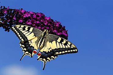 European Swallowtail Butterfly (Papilio machaon) resting on Buddleia flower, captive - 1198-496
