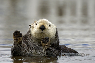 Sea otter (enhydra lutris), monterey, usa, in water, hands upright, close, up.