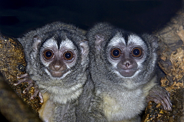 Owl monkey (aotus trivirgatus boliviensis) native of bolivia, south america (captive bristol zoo