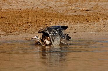 Hooded vulture. Necrosyrtes monachus. Washing. Chobe river, botswana