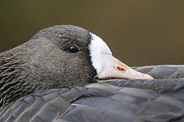 White-fronted goose (anser albifrons) close-up, roosting, slimbridge, uk