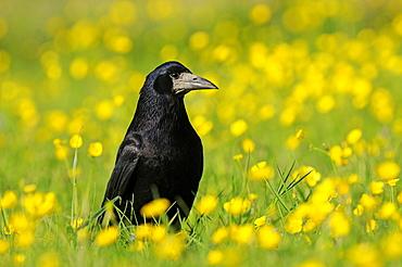 Rook (Corvus frugilegus) standing on the ground amongst buttercups, Oxfordshire, UK