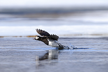 Long-tailed duck (clangual hyernalis) adult male in summer breeding plumage, taking off from water, varanger, norway