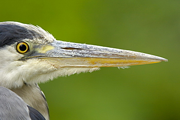 Grey heron (ardea cinerea) close, up of head and beak, richmond, uk.