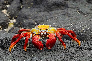 Sally lightfoot crab (grapsus grapsus) on black lava rock, galapagos islands, ecuador
