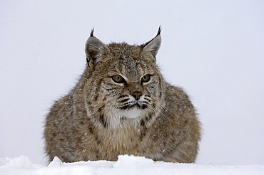 North american bobcat (lynx rufus) sat in snow, captive.