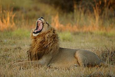 Lion. Panthera leo. Male yawning. Botswana