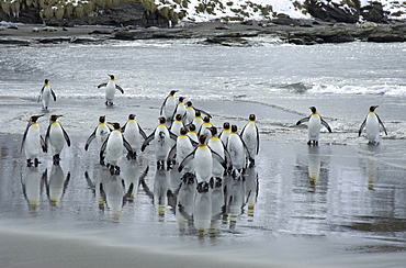 King penguins (aptenodytes patagonicus) st andrews bay, south georgia, group on beach, just emerged from the sea