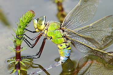 Emperor dragonfly (anax impertor) female laying eggs in aquatic vegetation, oxfordshire, uk