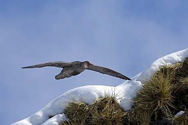 Southern giant petrel (macronectes giganteus) gold harbour, south georgia, flying along cliff edge searching for food.