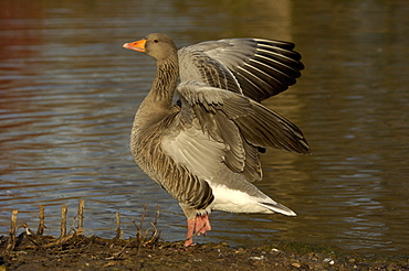 Greylag goose. Anser anser. Stretching wings, uk