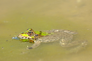 Marsh Frog (Rana ridibunda) floating motionless in water, Bulgaria