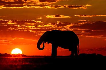 African elephants. Loxodonta africana. Drinking at sunset. Nxai pan, botswana