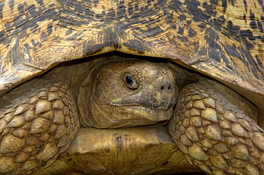 Leopard tortoise (geochelone pardalis), masaii mara, kenya, close, up view from front.