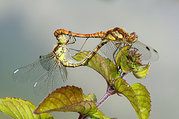 Common darter dragonfly (sympetrum striolatum) pair mating, oxfordshire, uk