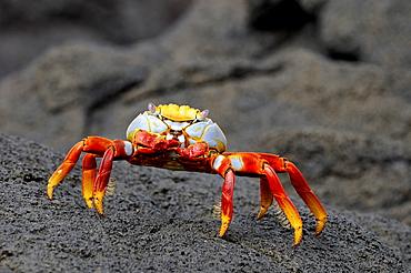 Sally lightfoot crab (grapsus grapsus) standing on black lava, galapagos, islands, ecuador