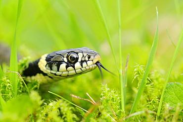 Grass snake (natrix natrix) young hatchling in grass, oxfordshire, uk