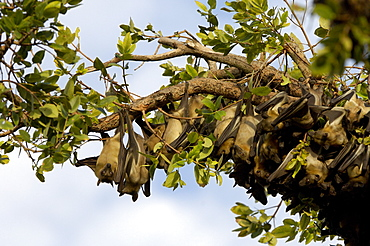 Straw-coloured fruit bat (eidolon helvum) kasanka  park, zambia, group roosting in swamp forest.