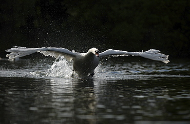 Mute swan (cygnus olor) charging across water, oxfordshire, uk